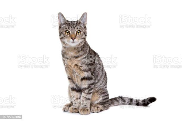 European short haired cat picture id1072769156?b=1&k=6&m=1072769156&s=612x612&h=55beu0wqnj6bdle54igqczhujqfuydy4fsstyr6zryc=
