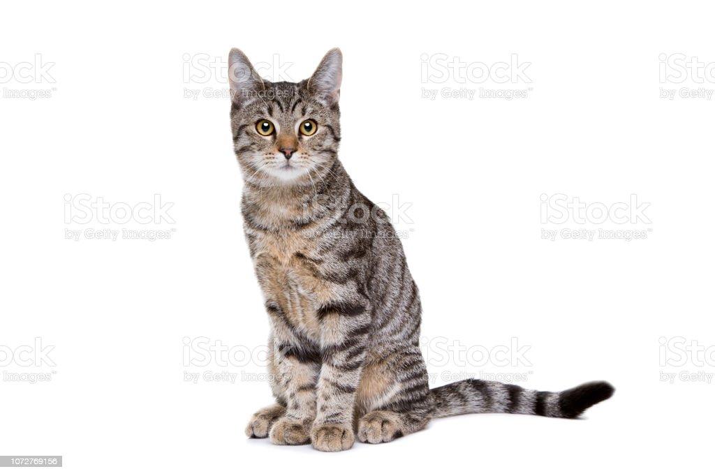 유럽 짧은 머리 고양이 스톡 사진