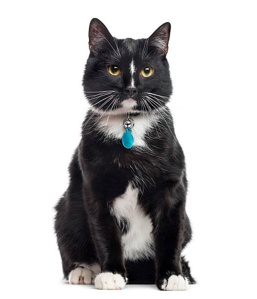 European Shorthair, 1 year old, sitting, isolated on white European Shorthair, 1 year old, sitting, isolated on white collar stock pictures, royalty-free photos & images