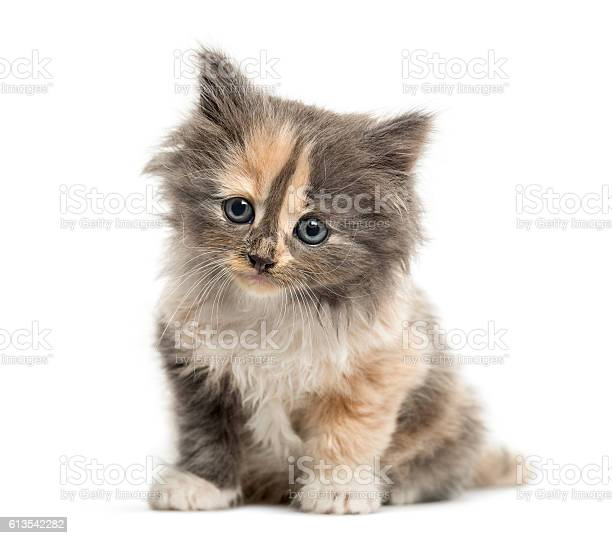 European shorthair kitten 1 month old isolated on white picture id613542282?b=1&k=6&m=613542282&s=612x612&h=qtddjur 7pfgo6rmeruz24h44tzkw6kjvngk1jxb8wq=