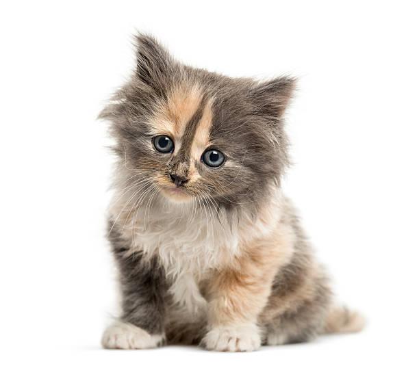 European shorthair kitten 1 month old isolated on white picture id613542282?b=1&k=6&m=613542282&s=612x612&w=0&h=qv76kdqro06o9bdc6chflqzv8uvcsbb tt cn 2gbgw=