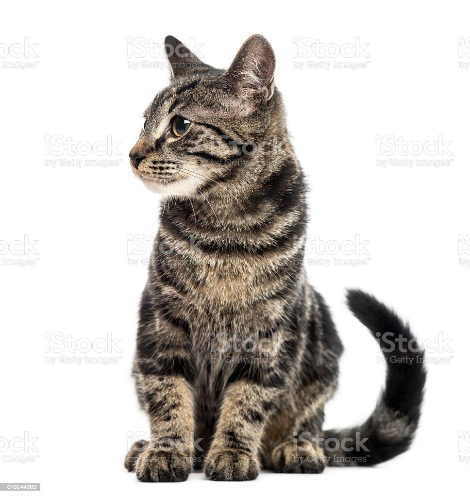 European Shorthair kitten, 3 months old, isolated on white stock photo