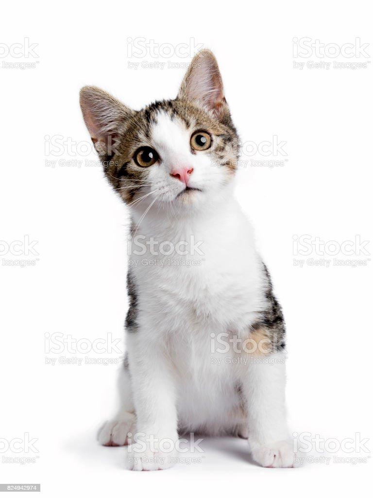Europese korthaar kitten / kat geïsoleerd op witte achtergrond zitten en kijken naar de camera foto