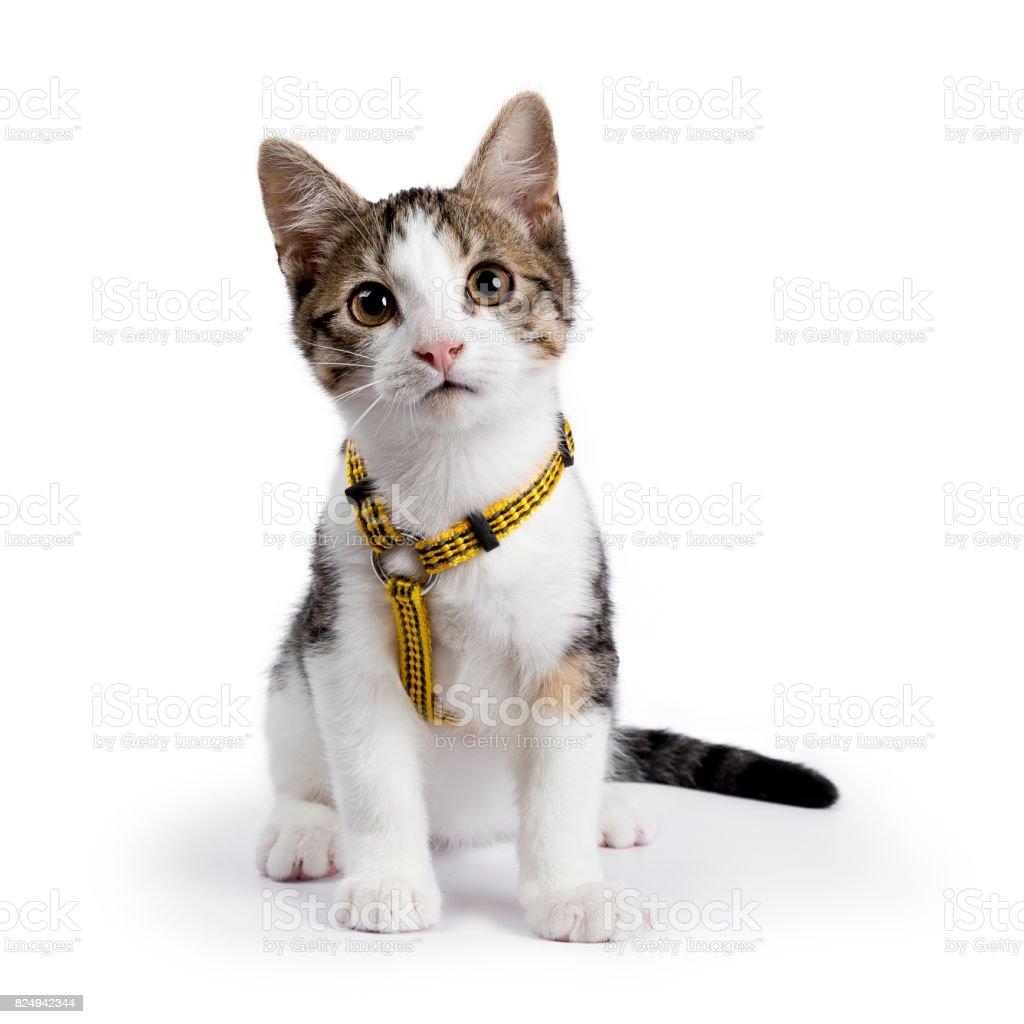 Europese korthaar kitten / kat zit op witte achtergrond dragen gele harnas foto