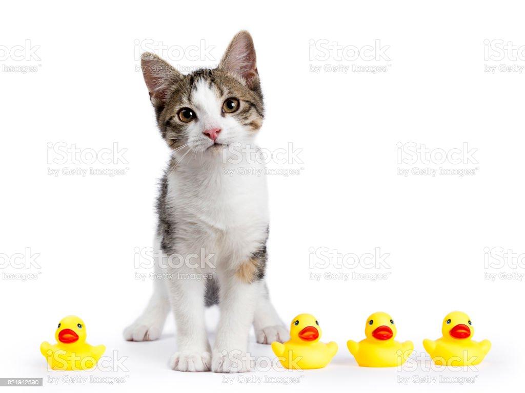 Europese korthaar kitten / kat permanent geïsoleerd op witte achtergrond met gele rubberen eenden op zoek recht in de camera foto
