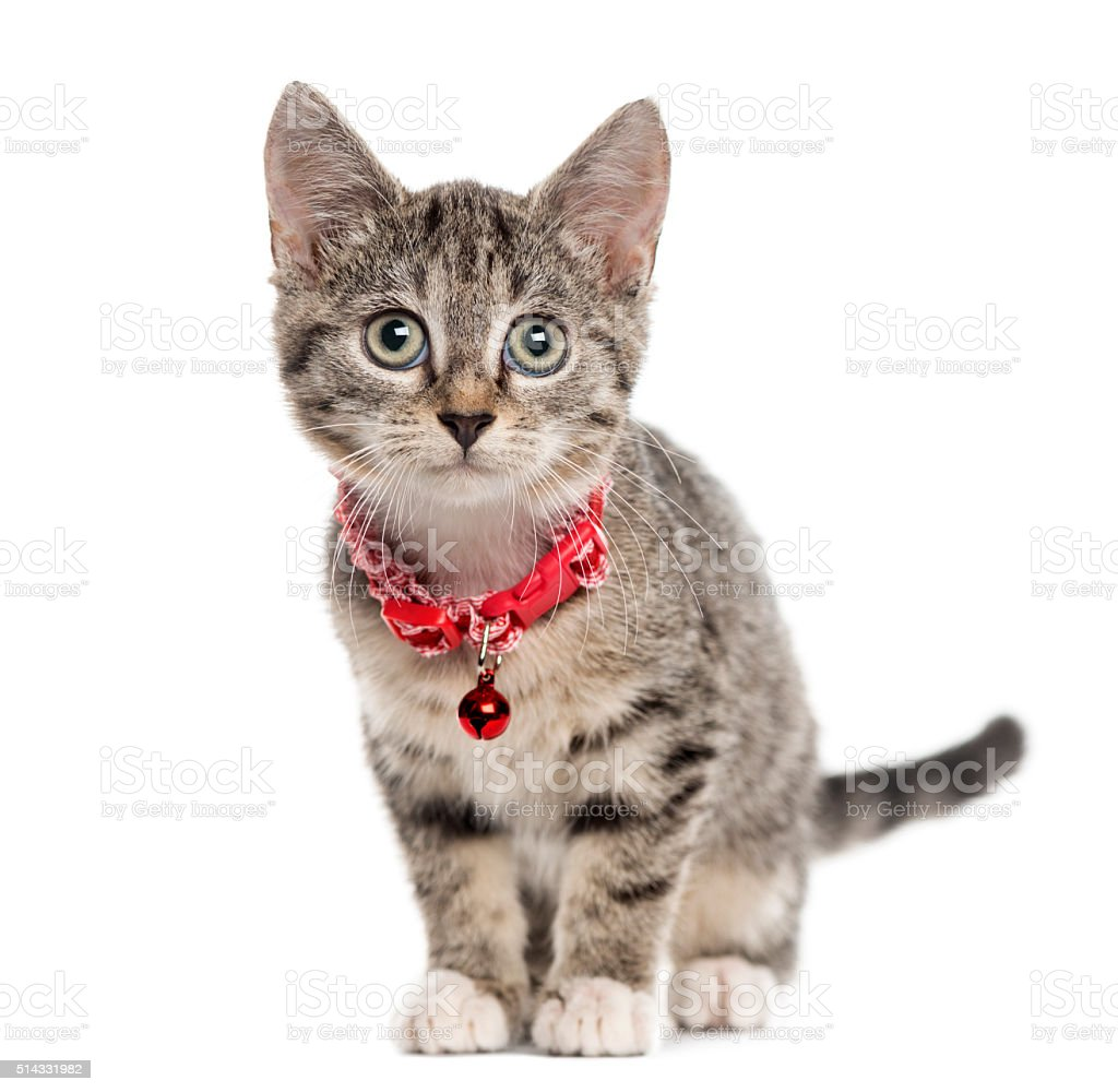 European Shorthair kitten, isolated on white stock photo