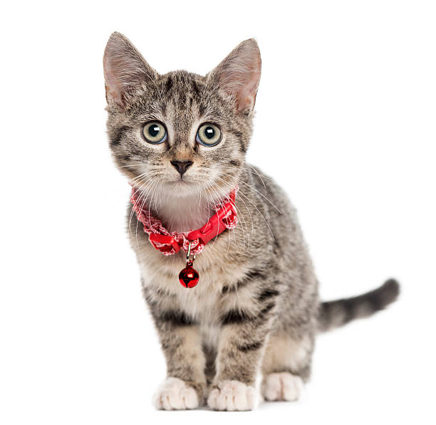 European Shorthair kitten, isolated on white European Shorthair kitten sitting and looking at the camera, isolated on white (2,5 months old) collar stock pictures, royalty-free photos & images