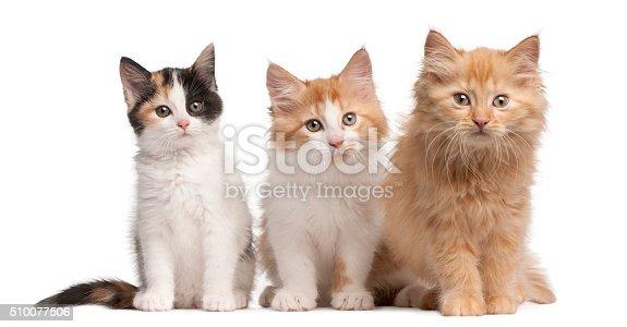 istock European Shorthair kittens, 10 weeks old, sitting 510077506
