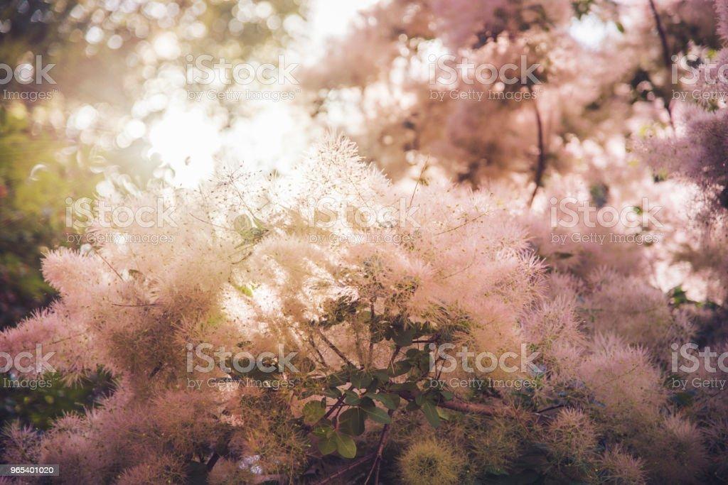 European smoke tree in the early summer Cotinus coggygria zbiór zdjęć royalty-free