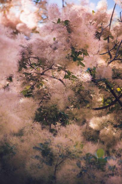 europäische rauch baum im frühsommer cotinus coggygria - perückenstrauch stock-fotos und bilder