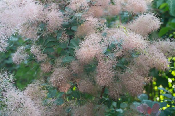 europäische smoketree (cotinus coggygria) blumen makro - perückenstrauch stock-fotos und bilder
