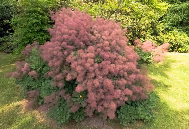 europäische smoketree (cotinus coggygria) rhus cotinus, eurasischen smoketree, rauch baum, rauch busch oder färberin sumach genannt ist eine art von blühende pflanze - perückenstrauch stock-fotos und bilder