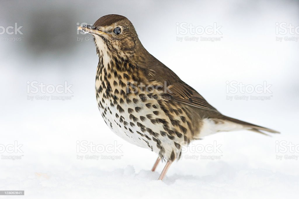 European Song Thrush Deep in Winter Snow royalty-free stock photo