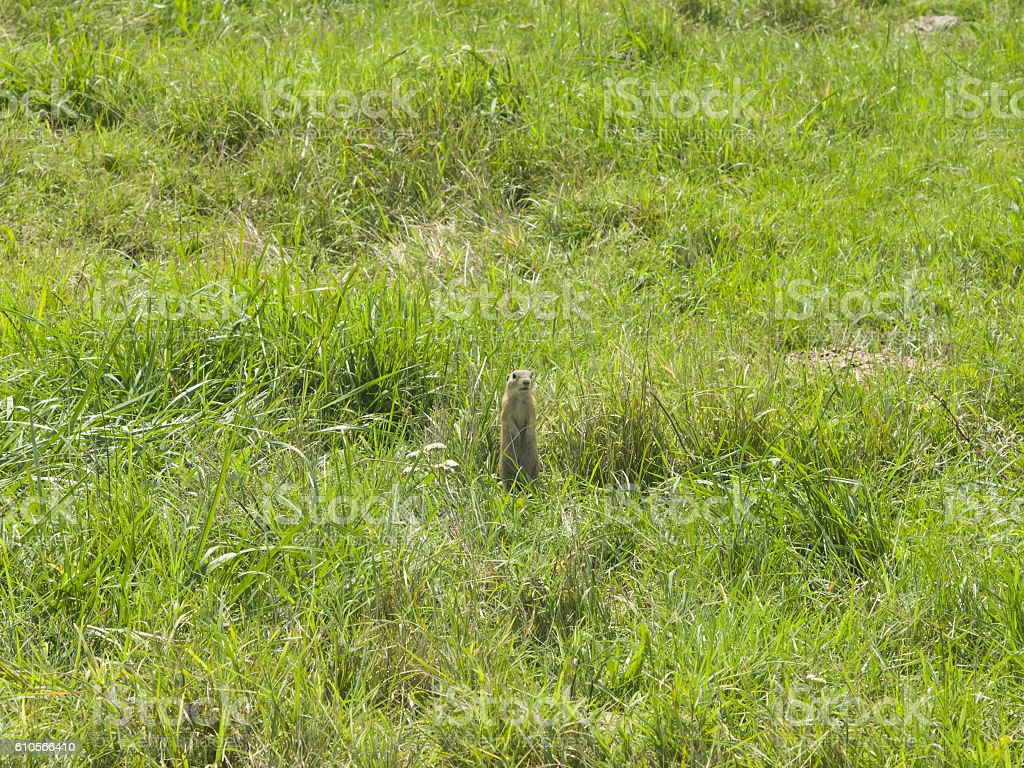 European Souslik or Ground Squirrel in grass, portrait, selective focus stock photo