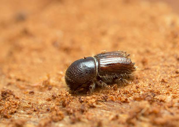 European spruce bark beetle, Ips typographus on wood stock photo