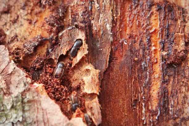 European spruce bark beetle stock photo