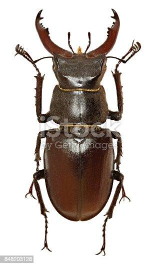 European Stag Beetle on white Background  -  Lucanus cervus (Linnaeus, 1758)