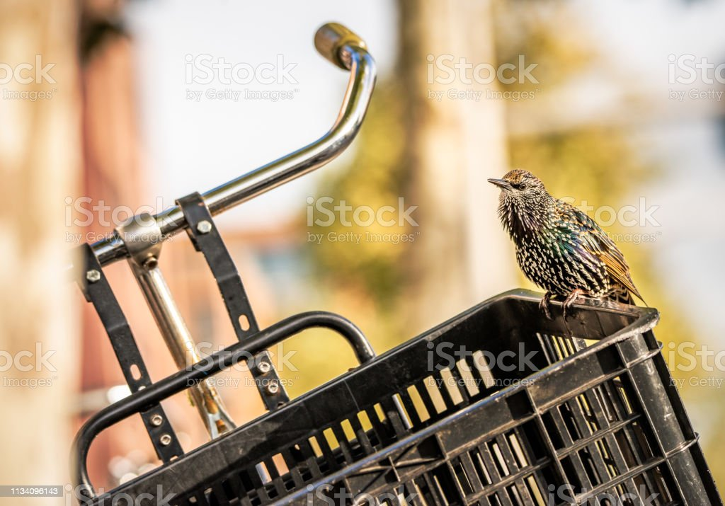 European Starling bird perching on the edge of a bike basket. stock photo