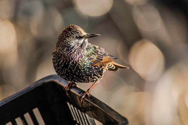 European Starling bird perching on the edge of a bike basket stock photo