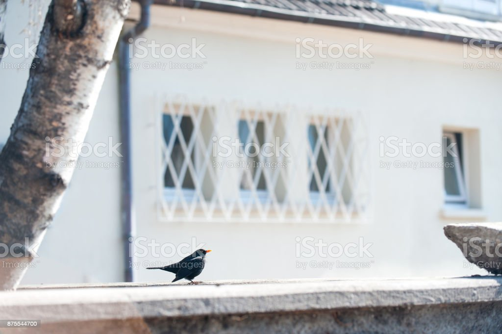 European starling Perched busk on warm spring sunlight. stock photo