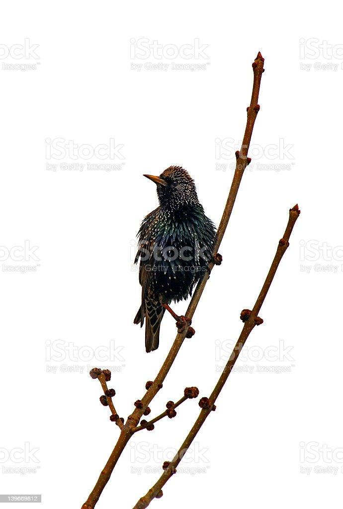 European starling royalty-free stock photo