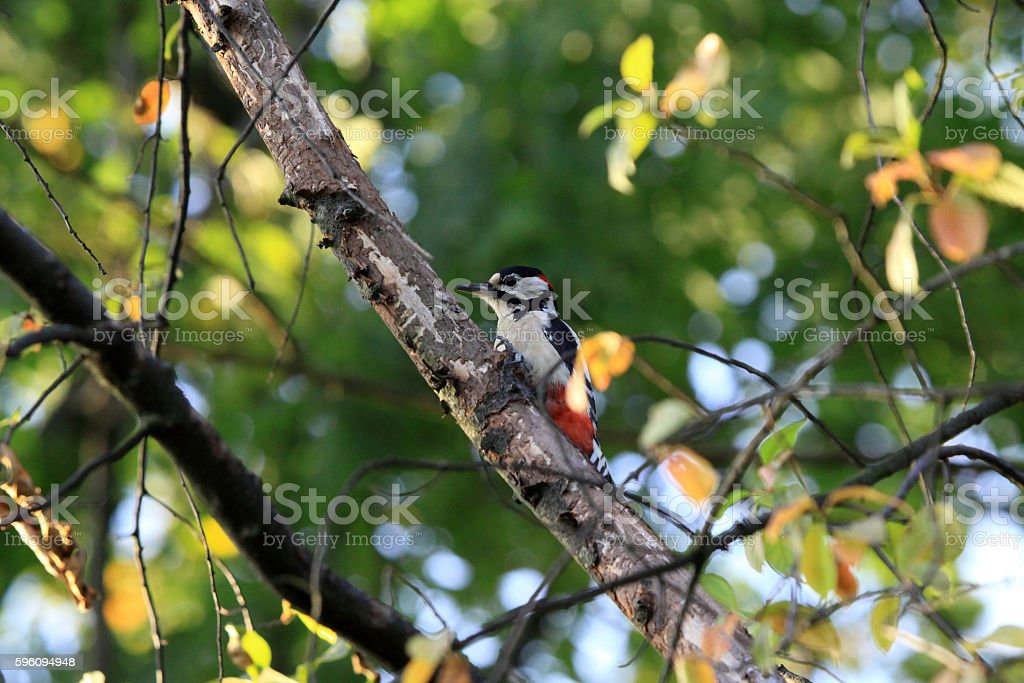 European the great spotted woodpecker looking for food royalty-free stock photo