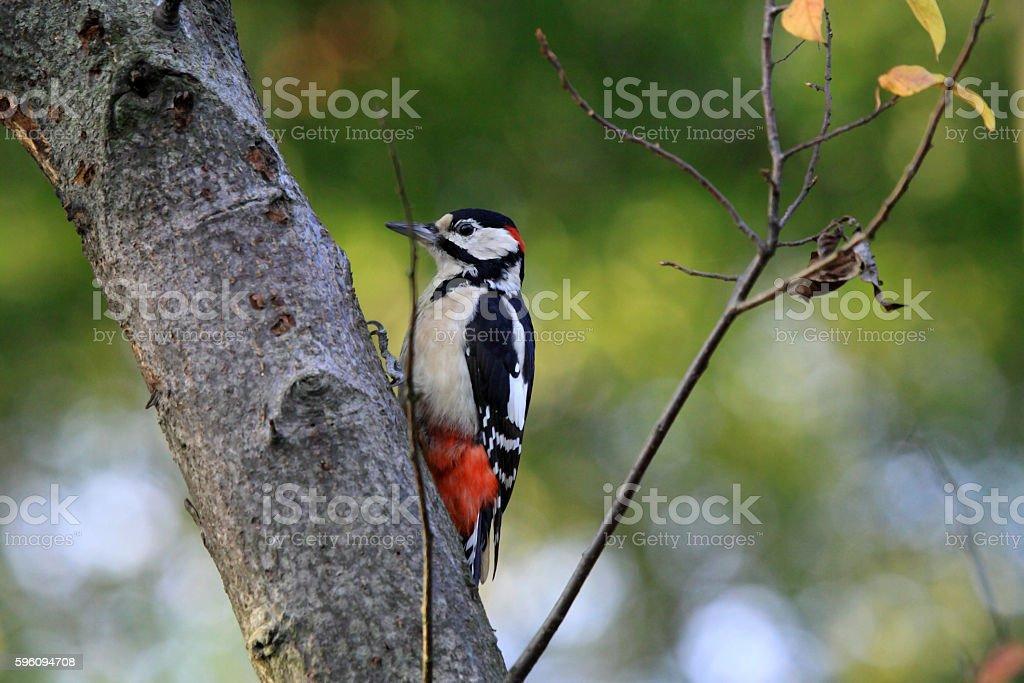 European the great spotted woodpecker Lizenzfreies stock-foto