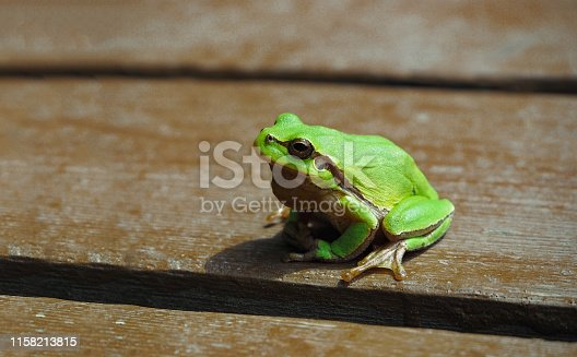 Small European tree frog at wooden background. Green amphibian