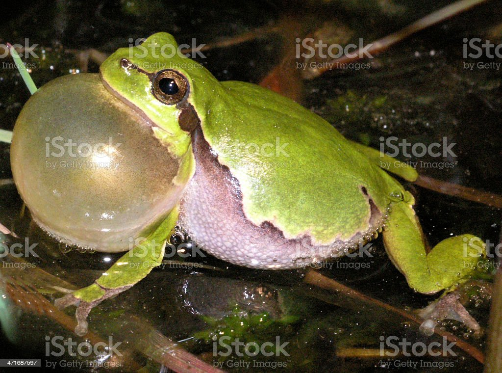 European tree frog croaking for a mate stock photo