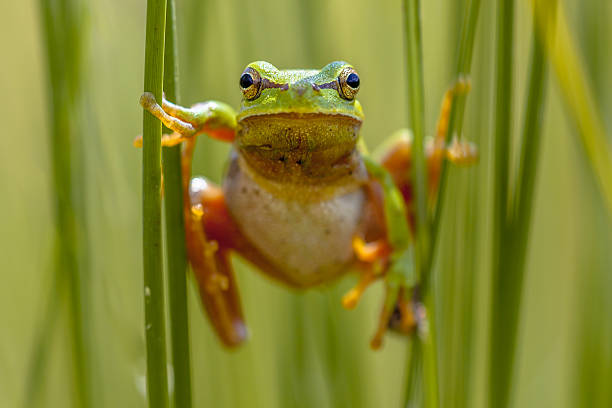 european tree frog frontal view - croak stock pictures, royalty-free photos & images