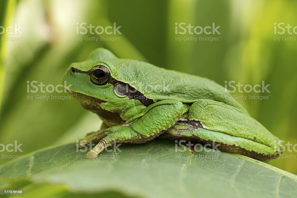 European tree frog on a leaf stock photo