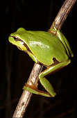 A tiny sedge frog from eastern Australia.  Vertical shot.  Lots of copy space.  Check out my other wildlife pictures.