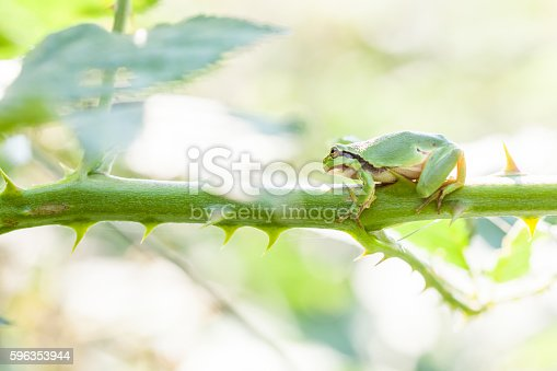 European Tree Frog Stock Photo & More Pictures of Amphibian