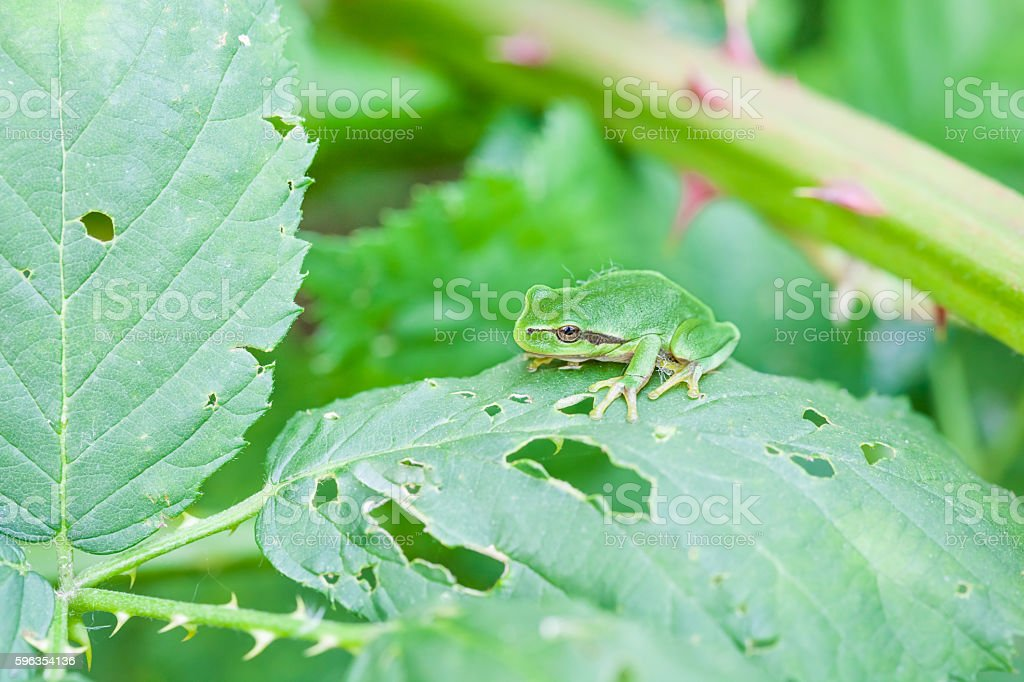 European tree frog royalty-free stock photo