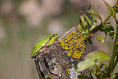European Green Tree Frog resting on branch in swamp, blur background, Isola della Cona, Monfalcone, Italy, amphibian, frog, full frame, copy space