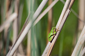 European Green Tree Frog resting on cane in swamp, blur background, Isola della Cona, Monfalcone, Italy, amphibian, frog, full frame, copy space