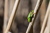 European Tree Frog resting on cane in swamp, blur background, Green Tree Frog Isola della Cona, Monfalcone, Italy, amphibian, frog, full frame, copy space