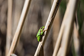 European Tree Frog resting on cane in swamp, blur background, Isola della Cona, Monfalcone, Italy, amphibian, frog, full frame, copy space