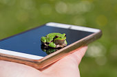 European Tree Frog resting on smart phone - funny photography, blur background, Green Tree Frog Isola della Cona, Monfalcone, Italy, amphibian, frog, full frame, copy space