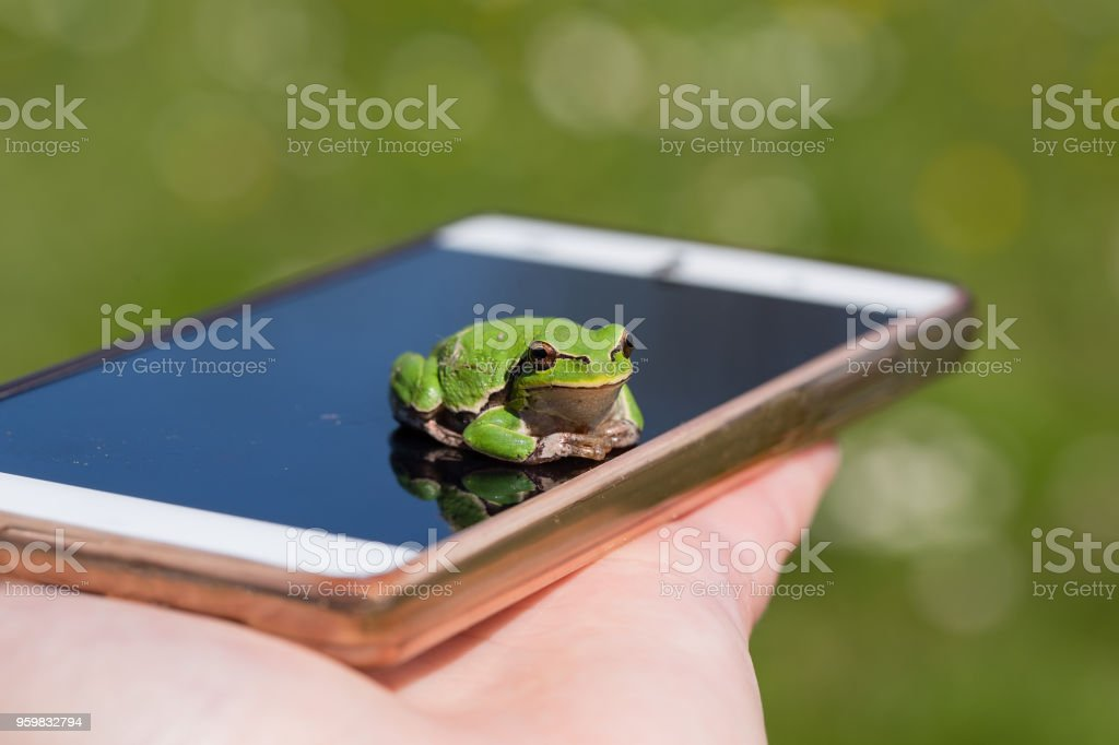 European Tree Frog resting on smart phone - funny photography stock photo