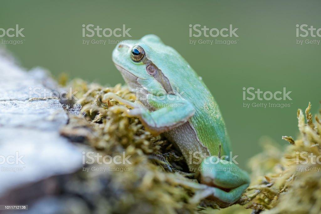 Europäische treefrog – Foto