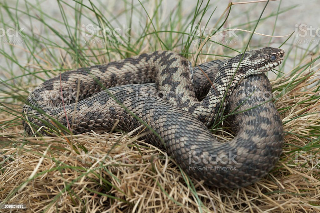 European viper (Vipera berus). stock photo