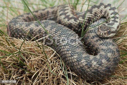 istock European viper (Vipera berus). 609918168