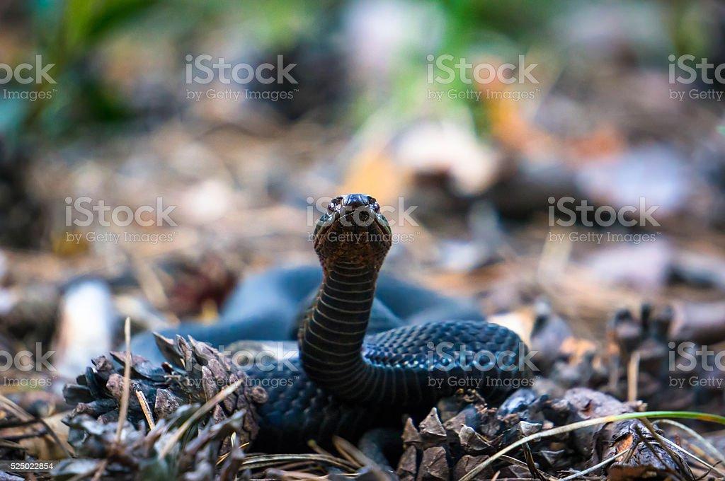 European viper. Wild life animal. stock photo