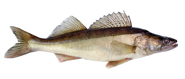 European walleye fish stock photo