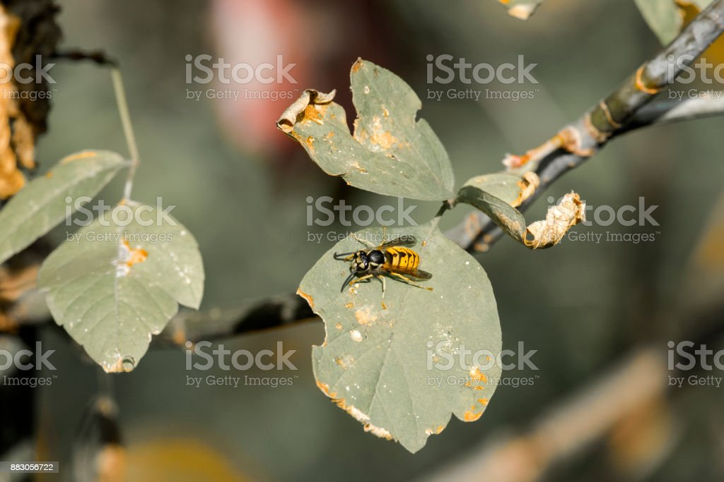 European wasp crawling on the leaf of a tree (Vespula vulgaris) stock photo