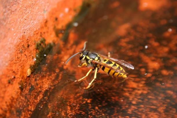 vespa européia (vespula vulgaris) - vespa comum - fotografias e filmes do acervo