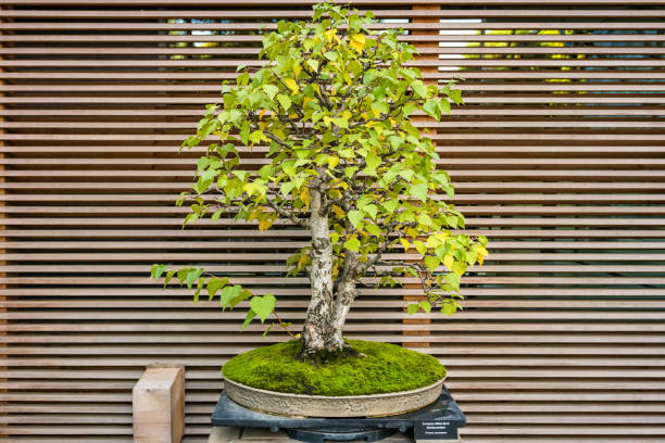42 White Birch Bonsai Stock Photos Pictures Royalty Free Images Istock