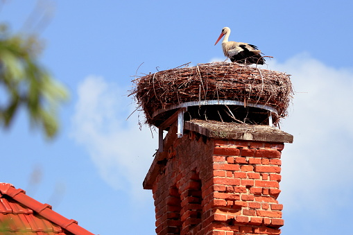 European white stork (Ciconia ciconia) stands on his big nest. The stork nest is made of a lot of branches and lies on a nice old brick chimney.