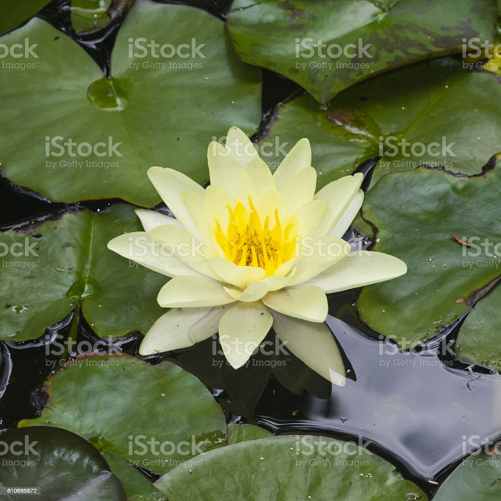 European White Waterlily, Nymphaea alba, flower macro, selective focus stock photo